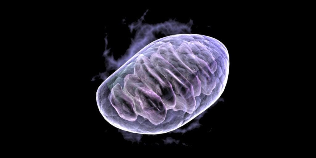 Berberin aktiviert die AMPK, die die Produktion neuer Mitochondrien auslöst