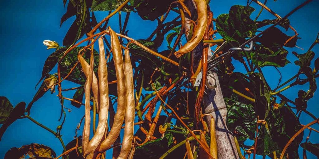 Buschbohnen sind eine großartige Quelle für Folsäure