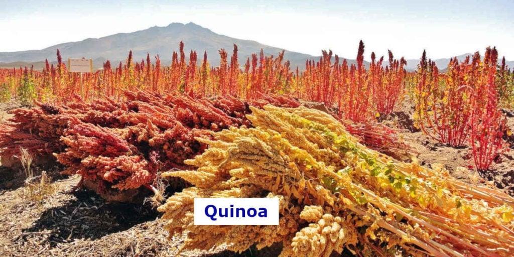 Dieses Quinoa Feld enthält viel Magnesium
